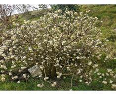 Jean Huchet EDGEWORTHIA crysantha C3L Arbuste