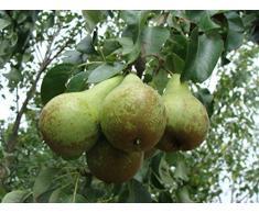Jean Huchet Plantes - Arbre fruitier Kits Trois Poiriers