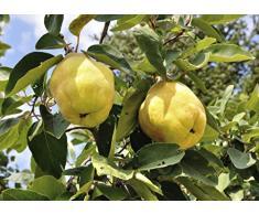Jean Huchet Plantes - Arbre fruitier Cognassier Géant de Vranja 525