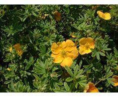 Jean Huchet POTENTILLA fruticosa Tangerine C3L Arbuste