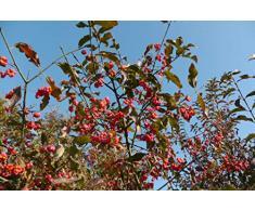 Jean Huchet Euonymus europaeus Red Cascade C3L Arbuste
