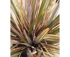 Jean Huchet Phormium tenax Sundowner C3L Arbuste