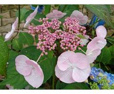 Jean Huchet Hydrangea macrophylla Dolce Gipsy (r) C3L Arbuste