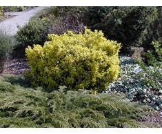 Jean Huchet Euonymus Japonica Bravo C3L Arbuste, Vert et Blanc