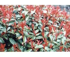 Jean Huchet Photinia x Fraseri Red Robin C3L Arbuste, Blanc