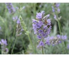 Jean Huchet LAVANDULA angustifolia Silver Dwarf C3L Arbuste