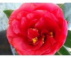 Jean Huchet Camelia Japonica Rouge C3L Arbuste,