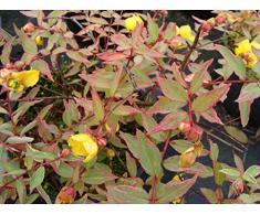 Jean Huchet Hypericum moserianum Tricolor C3L Arbuste