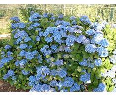 Jean Huchet Hydrangea macrophylla Bleu C3L Arbuste,