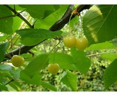 Jean Huchet Plantes - Arbre fruitier Cerisier Bigareau Or 328