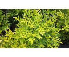 Jean Huchet NANDINA domestica Magical (r) Lemon Lime C3L Arbuste
