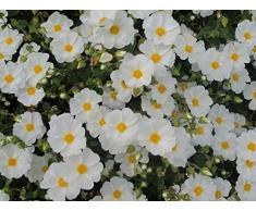 Jean Huchet Plantes - Arbre fruitier Kit de massif jardin de rocaille 17089