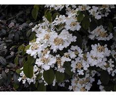 Jean Huchet Viburnum plicatum Lanarth C3L Arbuste