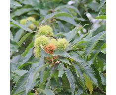 Jean Huchet Plantes - Arbre fruitier Châtaigner Dore de Lyon 6892