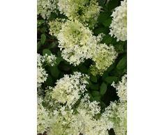 Jean Huchet Hydrangea paniculata Dentelle de gorron (r) C3L Arbuste