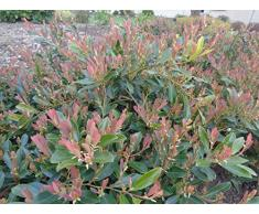 Jean Huchet DISTYLIUM myricoides Blue Cascade C3L Arbuste