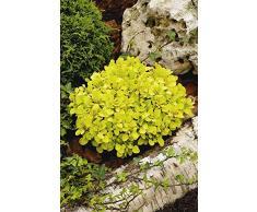 Jean Huchet BERBERIS thunbergii Tiny Gold (r) C3L Arbuste