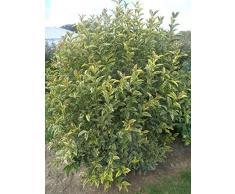 Jean Huchet LIGUSTRUM japonicum Arlequin C3L Arbuste