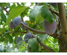Jean Huchet Plantes - Arbre fruitier Prunier Quetsche Alsace 21403