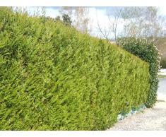 Jean Huchet Plantes - Arbre fruitier Thuya Plicata Atrovirens Lot de 100 - 19557