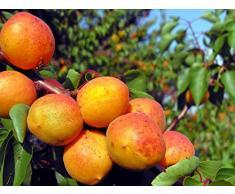 Jean Huchet Plantes - Arbre fruitier Kit Fruitiers à Noyaux 3 Arbres