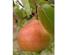 Jean Huchet Plantes - Arbre fruitier Poirier Doyenne du Comice 814