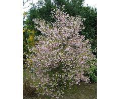 Jean Huchet Prunus incisa Kojou no mai C3L Arbuste