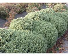 Jean Huchet HEBE pinguefolia Sutherland C3L Arbuste