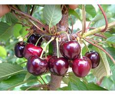 Jean Huchet Plantes - Arbre fruitier Cerisier Bigarreau Hâtif de Burlat 265