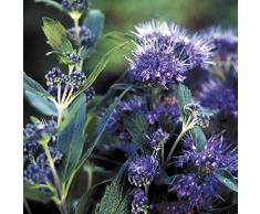 Jean Huchet Caryopteris Cland Grand (r) C3L Arbuste, Bleu