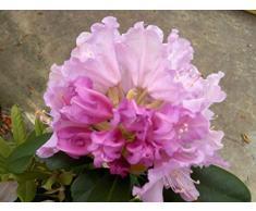 Jean Huchet Rhododendron yakushimanum Caroline arbrook C3L Arbuste