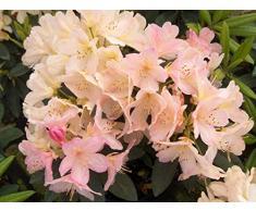 Jean Huchet Rhododendron yakushimanum Percy Wiseman C3L Arbuste