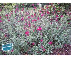 Jean Huchet Salvia Bordeaux C3L Arbuste