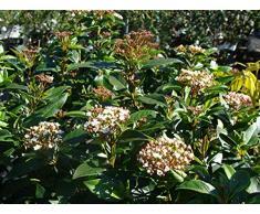 Jean Huchet Viburnum Tinus C3L Arbuste, Blanc Rosé