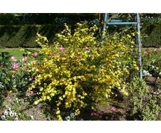 Jean Huchet KERRIA Japonica Golden Guinea C3L Arbuste, Jaune