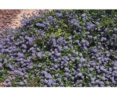 Jean Huchet Ceanothus Thyrsiflorus Repens C3L Arbuste, Bleu