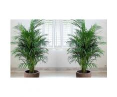 Palmier de Montagne (120cm): 2 arbustes