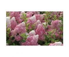 Arbuste d'Hortensias vanille fraise de 8cm: 3
