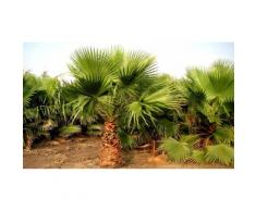 1 grand palmier Mexican Fan 90-110cm